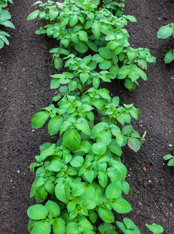 Tiros brotados verdes novos da batata no jardim fotografia de stock royalty free