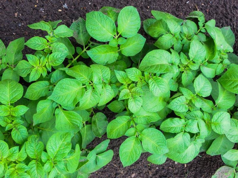 Tiros brotados verdes novos da batata no jardim foto de stock royalty free