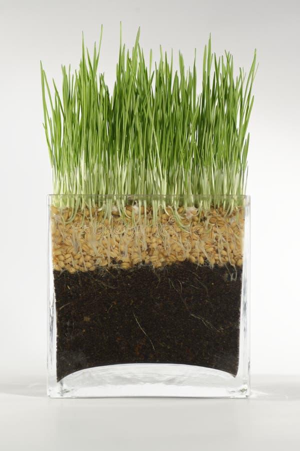 Tiros del trigo en al vidrio fotos de archivo