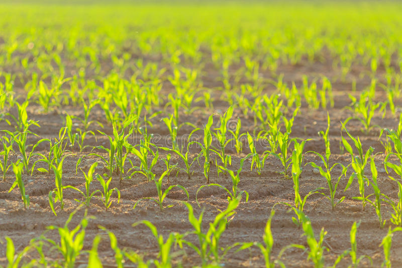 Tiros do milho na mola da agricultura do campo do fazendeiro fotografia de stock