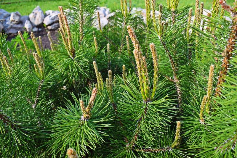 Tiros novos bonitos em um pinheiro diminuto fotografia de stock royalty free