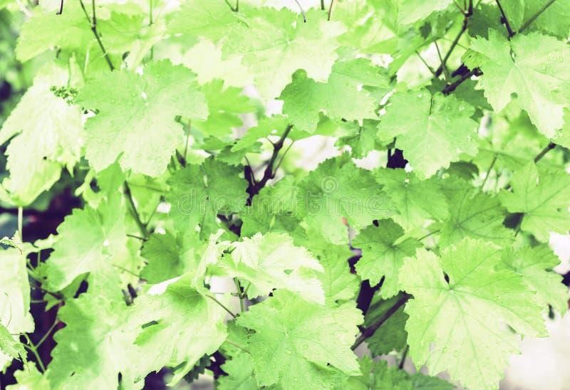Tiros novos das uvas com as folhas no vinhedo no verão fotografia de stock