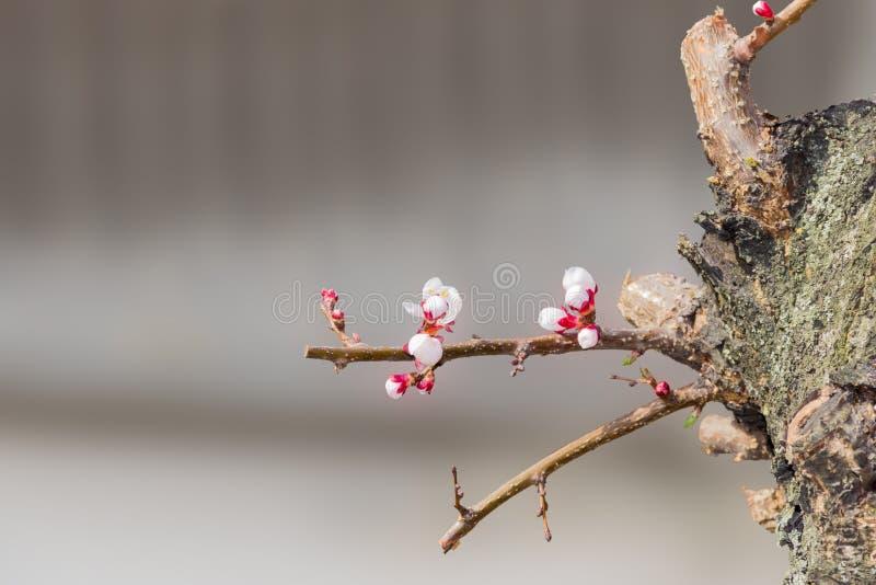Tiros novos do abricó com flores em uma árvore velha fotos de stock royalty free