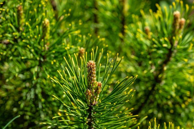 Tiros novos do mugo dourado Ophir do pinus do pinho de montanha do anão do cultivar com pontas douradas bonitas das agulhas imagens de stock