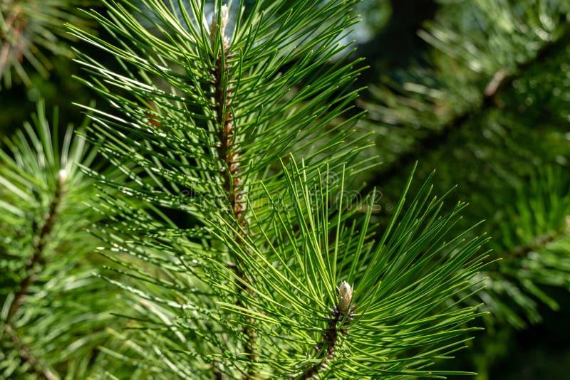 Tiros novos em ramos do pinho austríaco preto Pinus Nigra Dia ensolarado no jardim da mola fotografia de stock