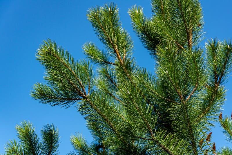 Tiros novos em ramos do pinho austríaco preto Pinus Nigra no fundo do céu azul foto de stock royalty free
