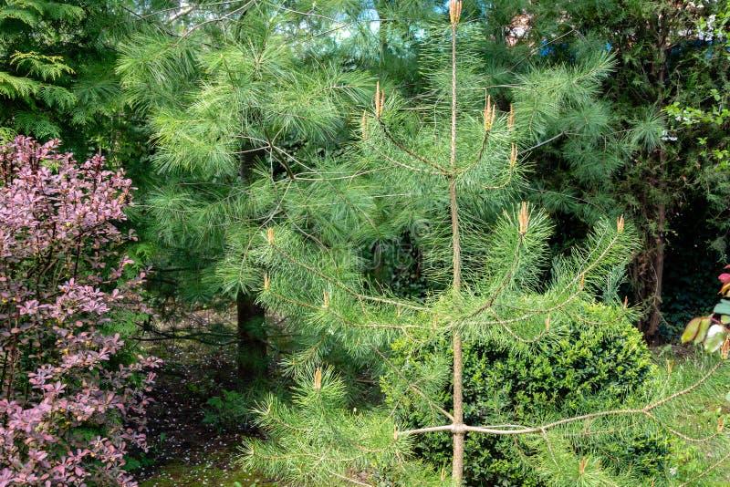 Tiros novos em silvestris novos do pinus do pinho no fundo dos evergreens foto de stock