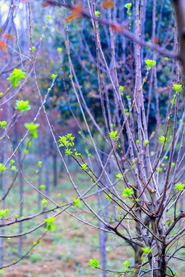 Tiros plântula-verdes da árvore de amoreira imagem de stock