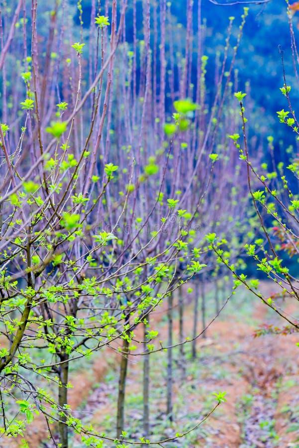 Tiros plântula-verdes da árvore de amoreira imagens de stock