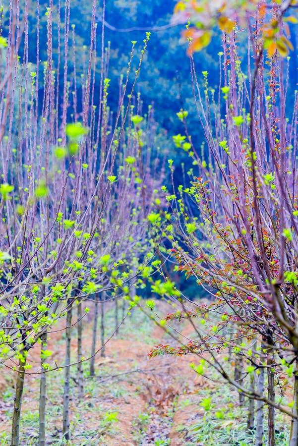 Tiros plântula-verdes da árvore de amoreira fotografia de stock royalty free