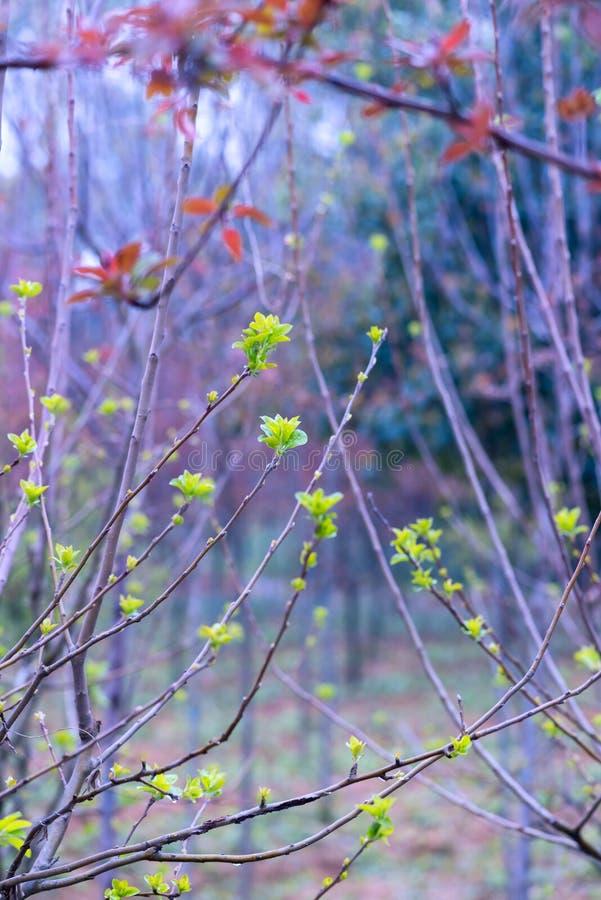 Tiros plântula-verdes da árvore de amoreira fotos de stock royalty free