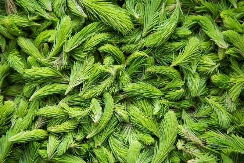 Tiros verdes frescos do abeto vermelho foto de stock