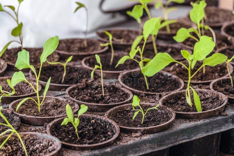 Tiros verdes novos das plântulas na gaveta da capacidade do PVC Plântulas da pimenta em uns potenciômetros imagens de stock royalty free