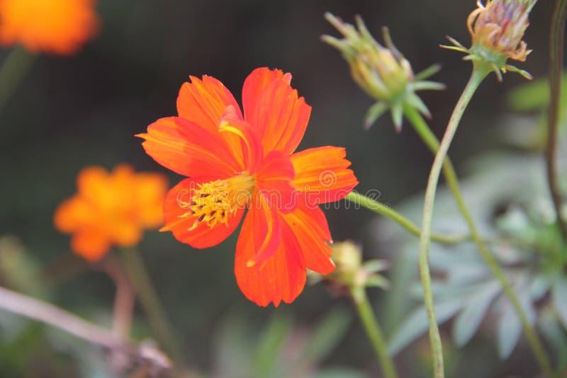 Tiroteo macro anaranjado del campo de flor fotografía de archivo