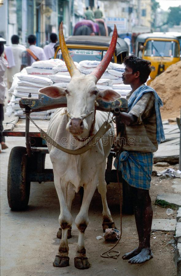 Tirupathi, Andhra Pradesh, India: Niezidentyfikowany mężczyzna używa bullock furę odtransportowywać ciężkiego ładunek fotografia stock