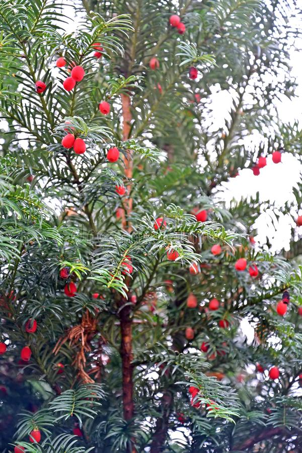 Tis berry Taxus baccata L., branches with fruits.  stock image