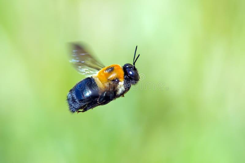 Tischler-Biene im Flug stockbild