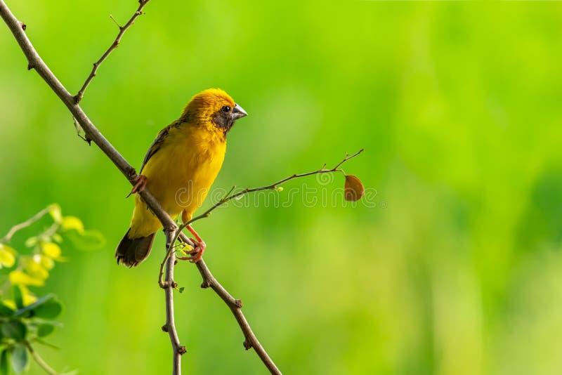 Tisserand d'or asiatique masculin intelligent et jaunâtre étant perché sur la branche de tamarinier de Manille, examinant une dis photographie stock