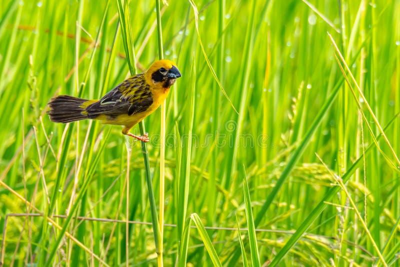 Tisserand d'or asiatique masculin intelligent et jaunâtre étant perché sur la tige d'herbe, examinant une distance photo libre de droits