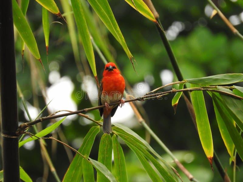 Tisserand du Madagascar dans un arbre images stock