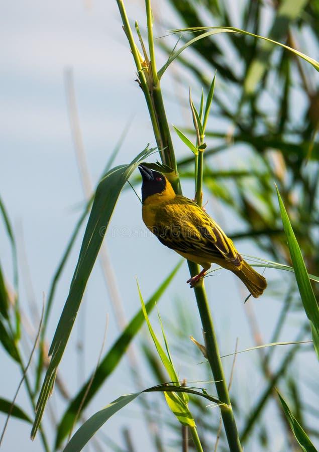 Tisserand masqué du sud recueillant le matériel renforcement de nid images stock