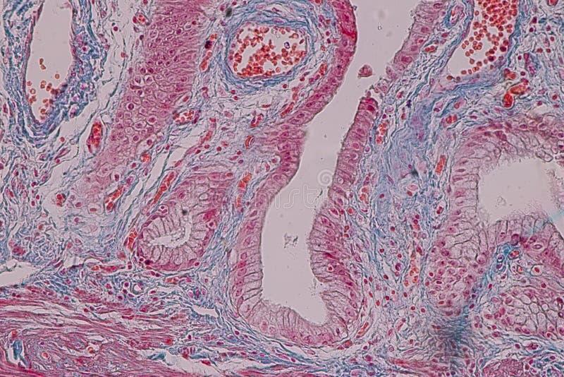 Tissu colomnaire simple d'épithélium témoin histologique sous le microscope photographie stock libre de droits