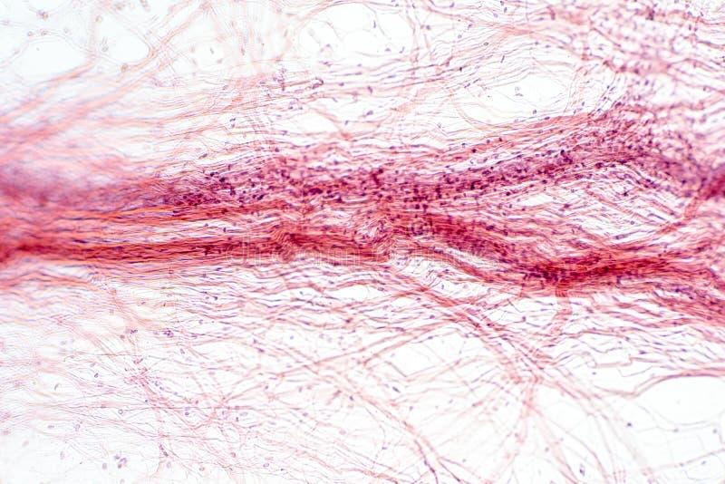 Tissu conjonctif Areolar sous la vue de microscope illustration libre de droits
