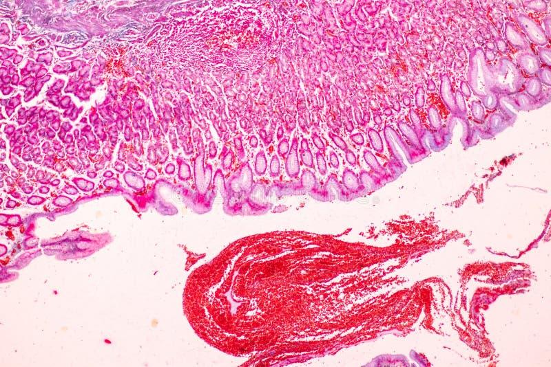 Tissu de l'estomac sous le microscopique, physiologie de l'estomac pour l'éducation dans le laboratoire images libres de droits