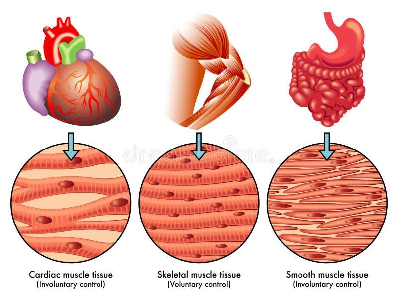 Tissu de muscle