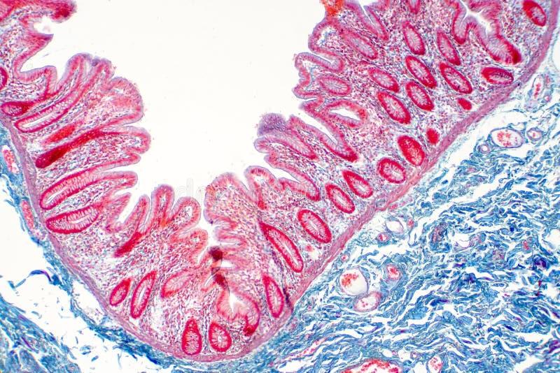 Tissu humain de gros intestin sous la vue de microscope illustration stock
