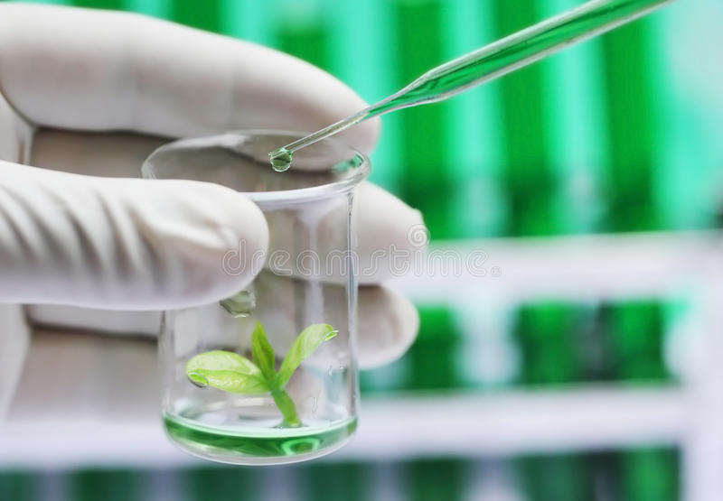 Tissue culture concept. Plant sprout in a beaker as tissue culture concept stock photos