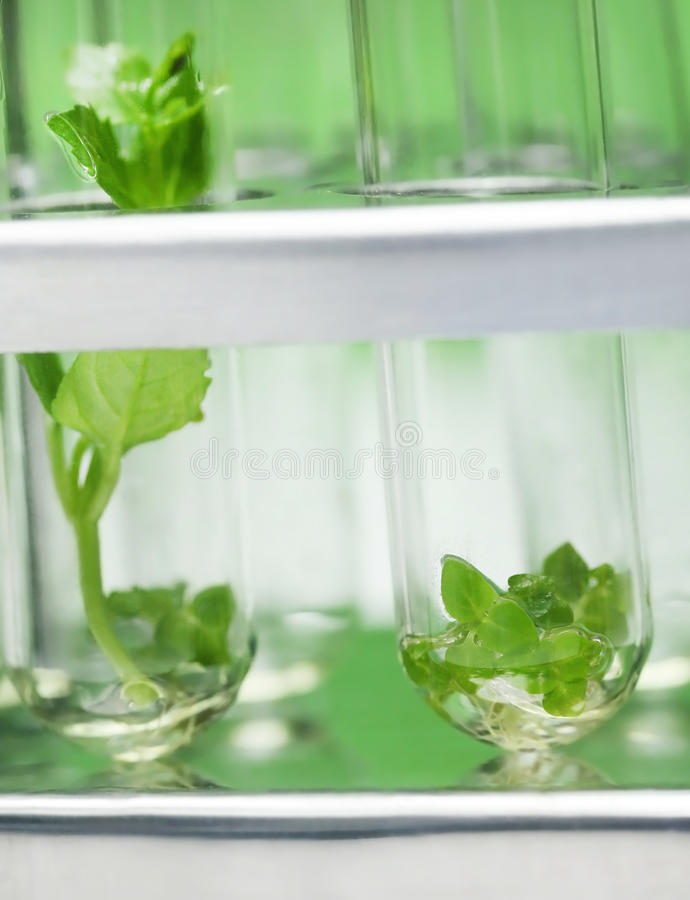 Tissue culture concept. With plants in test tubes royalty free stock photos