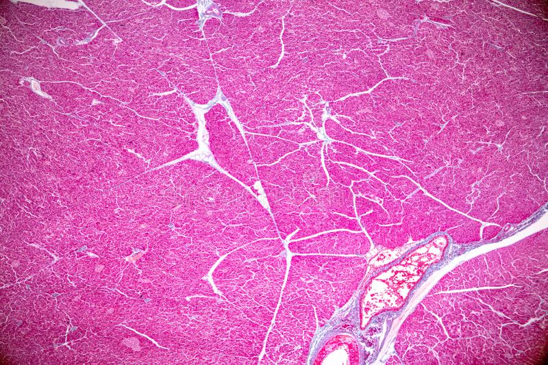 Tissue of pancreas is an organ of the digestive system and endocrine system of in humans. Tissue of pancreas is an organ of the digestive system and endocrine royalty free stock images