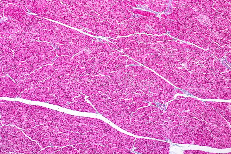 Tissue of pancreas is an organ of the digestive system and endocrine system of in humans. Tissue of pancreas is an organ of the digestive system and endocrine stock photography