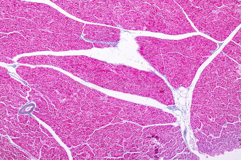 Tissue of pancreas is an organ of the digestive system and endocrine system of in humans. Tissue of pancreas is an organ of the digestive system and endocrine stock photo