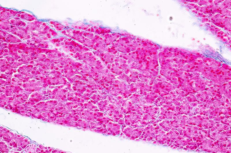 Tissue of pancreas is an organ of the digestive system and endocrine system of in humans. Tissue of pancreas is an organ of the digestive system and endocrine stock image