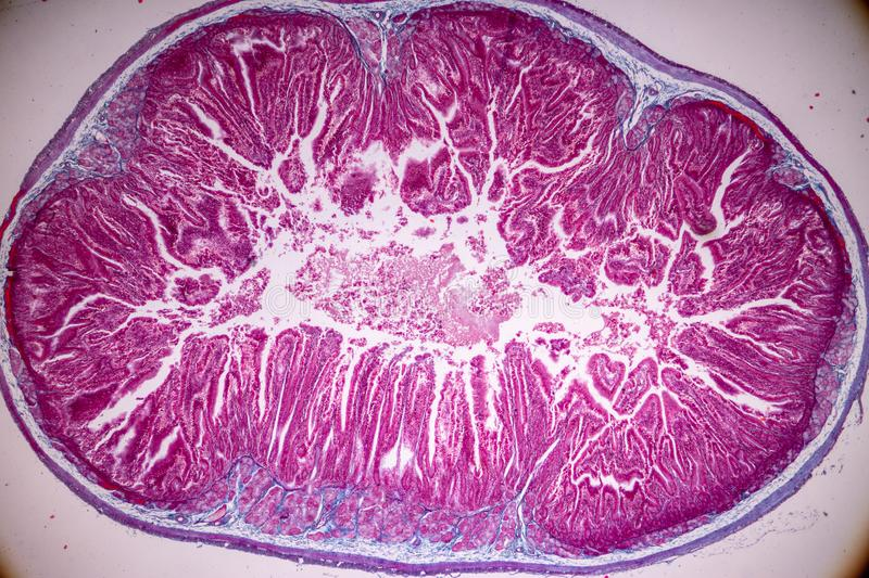 Tissue of small intestine or small bowel under the microscopic. royalty free stock photos