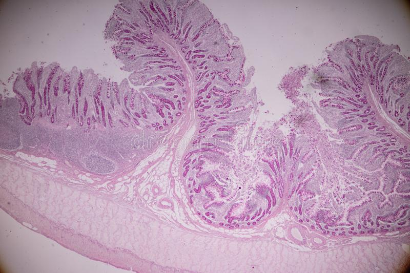 Tissue of small intestine or small bowel under the microscopic. stock photos