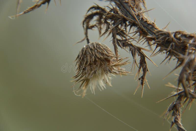 Tistel i grässlätten arkivbild