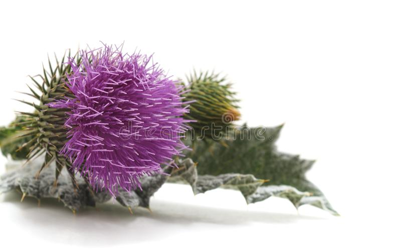 Tistel med blomman och sidor royaltyfria bilder