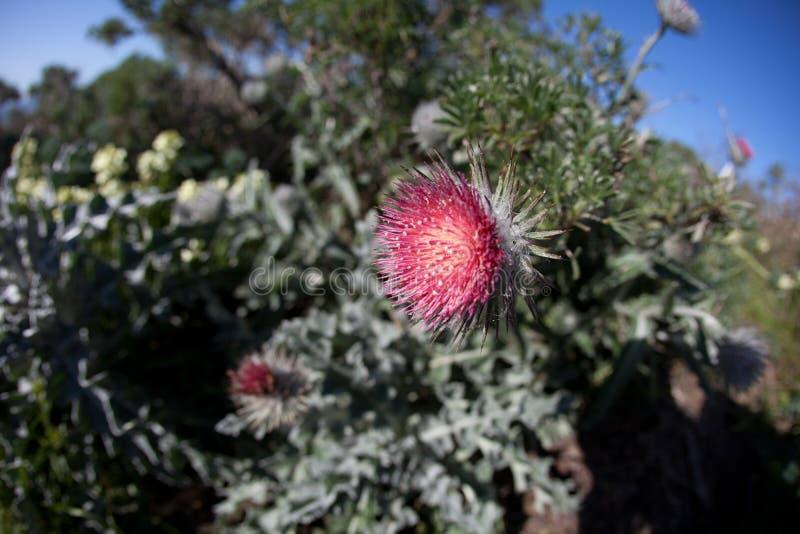 Tistelblomma i blom som är rosa royaltyfria bilder