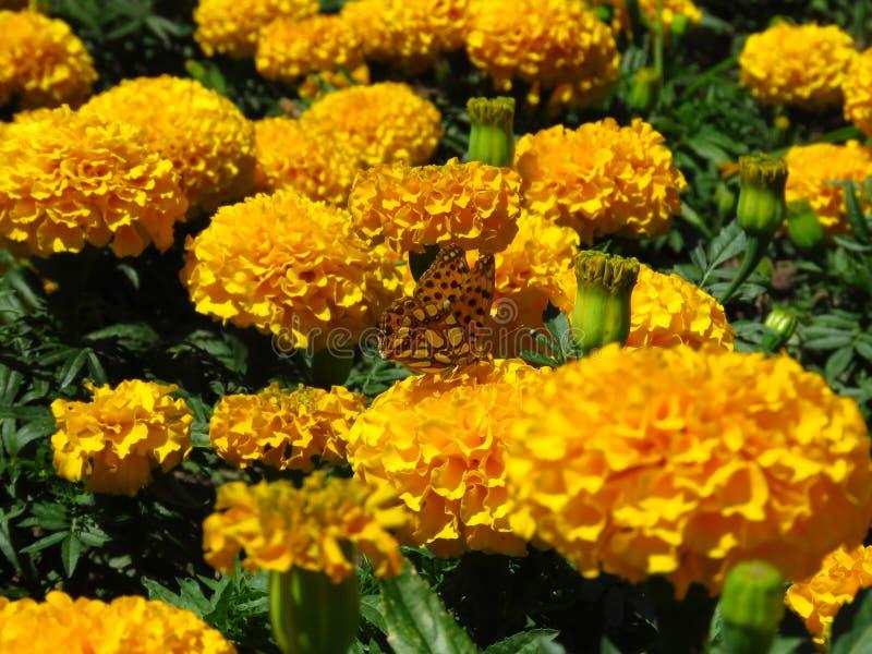 Tistelfjäril - Distelvlinder på orange gul suddig bakgrund för sommarblomma Blomma för ringblommaTagetes trädgård royaltyfri foto