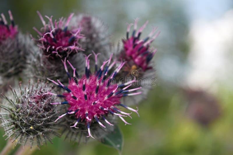 Tisteln blommar närbild arkivfoton