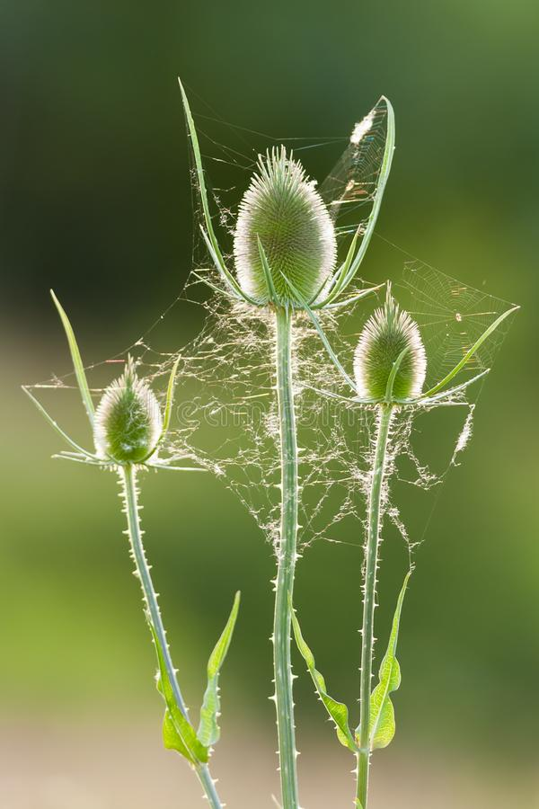 Tistlar med spindelrengöringsduk i tillbaka belysning-closeup arkivfoton