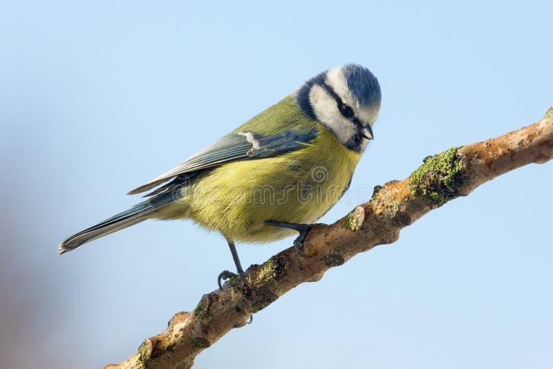 Tit azul - caeruleus del Parus - pájaros del jardín imagen de archivo
