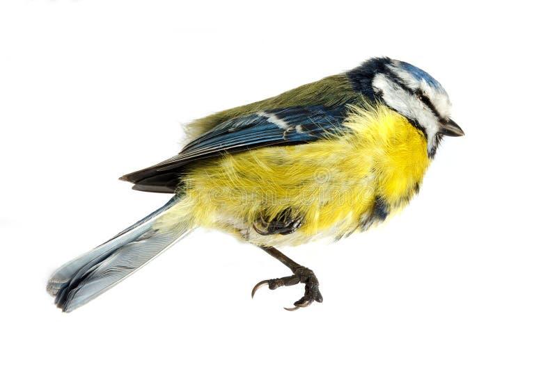 Tit azul difunto foto de archivo libre de regalías