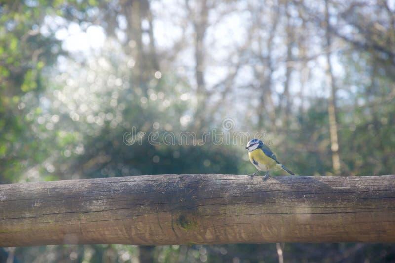 Tit azul en la cerca, perfil foto de archivo libre de regalías
