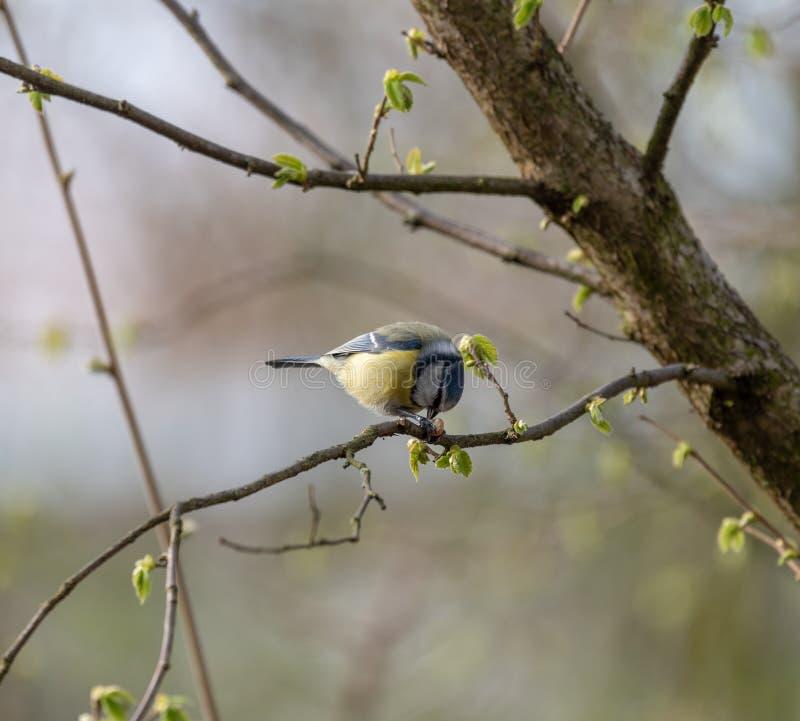 Tit azul o caeruleus eurasiático de Cyanistes fotos de archivo libres de regalías