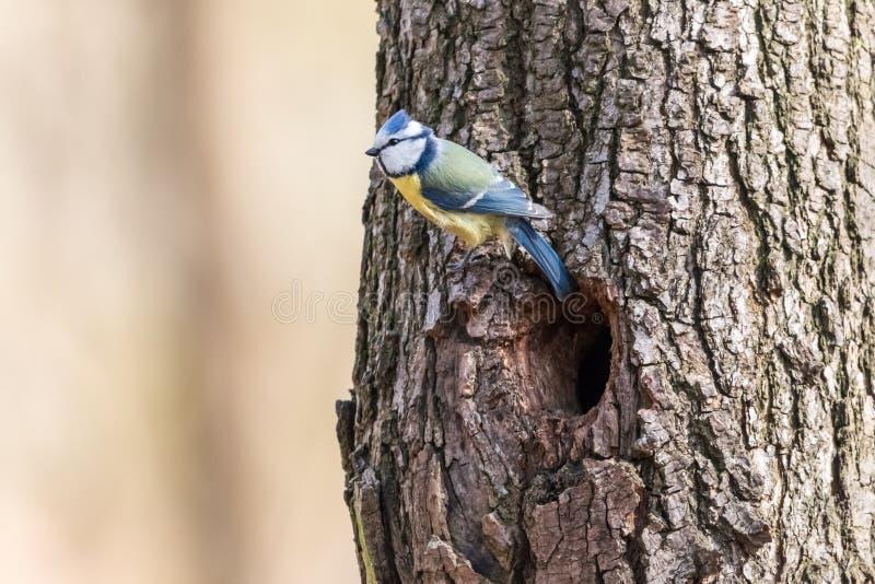 Tit azul que se encarama en tronco de árbol sobre la entrada hueco fotos de archivo