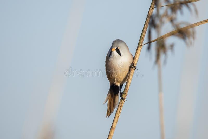 Tit barbudo, biarmicus de Panurus Un pájaro imágenes de archivo libres de regalías